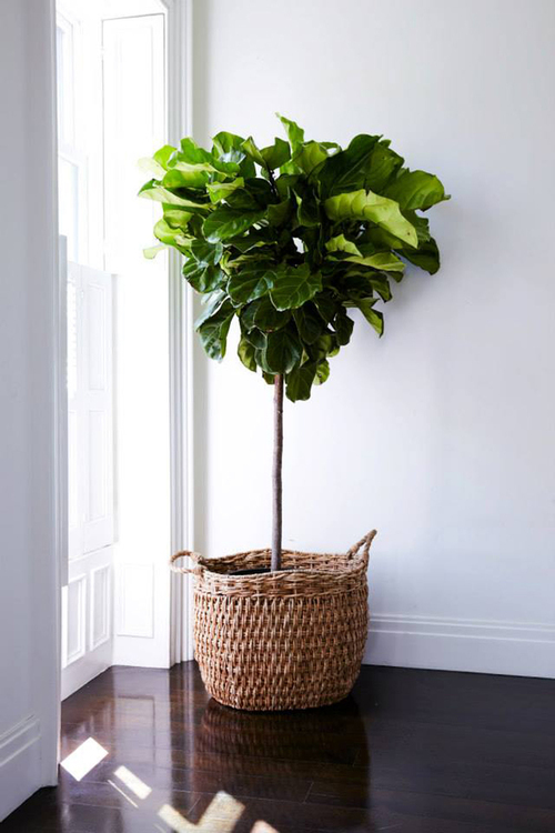 healthy fiddle leaf plant in front of a bright window against a stark white wall sitting in a pot in a woven basket on dark wood floors