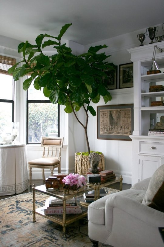 huge fiddle leaf plant in a basket in a pot in a light and bright living room with tall windows a bookshelf a glass coffee table with brass a settee table and one chart a white sofa couch and cups